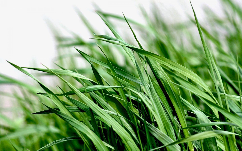 Gras onderzaaien bij maïs